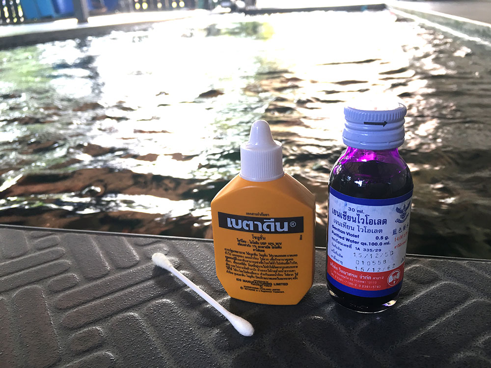 ให้ใช้ยาเบตาดีนทาที่แผลก่อนแล้วทิ้งไว้ซักพัก  หลังจากนั้นใช้ยาม่วงทาแผลซ้ำอีกที แล้วปล่อยปลาลงบ่อตามปกติ  2-3วันทาซ้ำอีกรอบ จนแผลหาย.